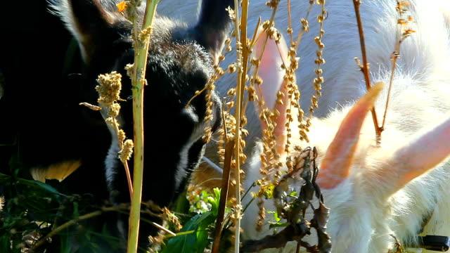 Little goats eating leaves video