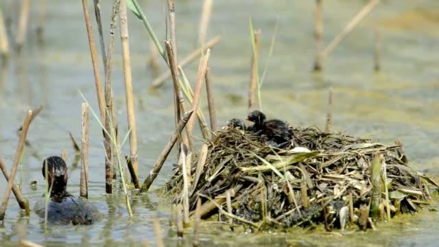 Little grebe at nest (Tachybaptus ruficollis) video