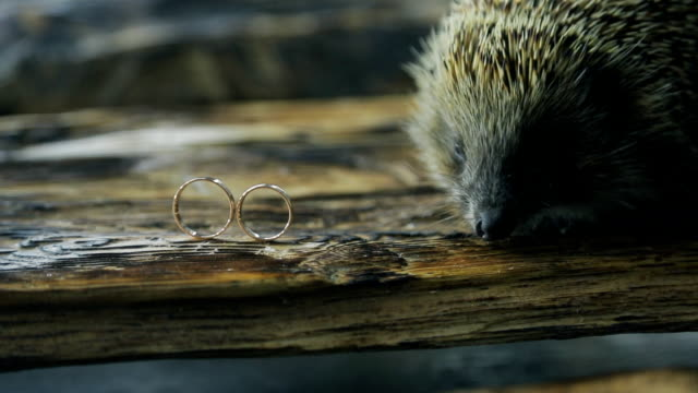 Little hedgehog explores two gold wedding rings on tree video