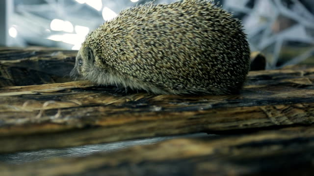 Little hedgehog finds two gold wedding rings on tree video