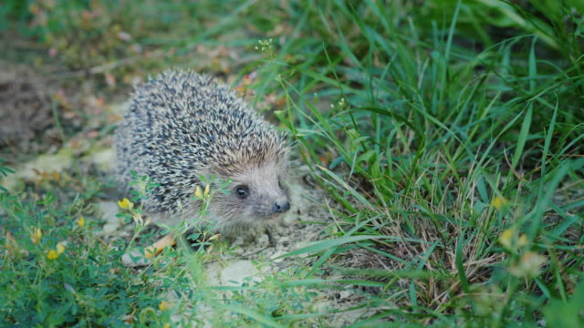 A little hedgehog in the grass. Looks at the camera, sniffs his nose video