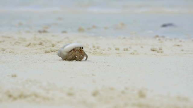 SLOW MOTION: Little hermit crab crawling along the sandy beach video