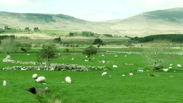 little lambs with mother-sheep Ireland video