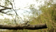 Little marmoset on a tree video