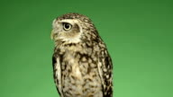 Little owl looking around in front of a green background video