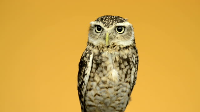 Little owl looking around in front of an orange background video
