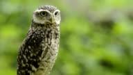 Little owl looking around video