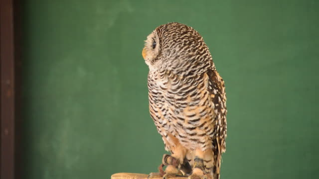 Little owl or owlet in zoo park video
