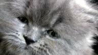 Little Persian Cat. video