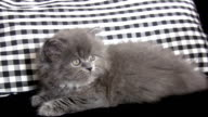 Little Persian Cat. video