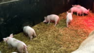 Little piglets in pigsty video