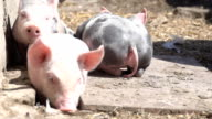 Little piglets on the farm video