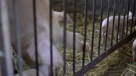 Little pigs playing with her sow in the straw. FullHD video