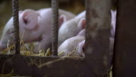 Little pigs resting on the straw in a cage in FullHD video