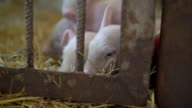 Little pigs resting on the straw in FullHD video