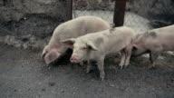 Little pigs sneaking outside of barn video