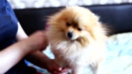 Little pomeranian spitz . wool combing video