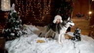 Little scared girl with a big husky dog in the snow next to Christmas trees video