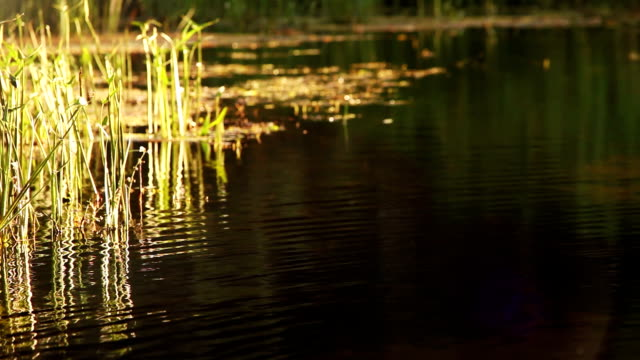 little stream. Reeds in small river video
