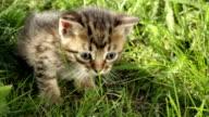 Little tabby kittens  on green grass HD video