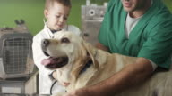 Little veterinarian and Labrador video