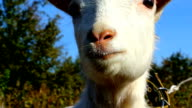Little white goat cries video