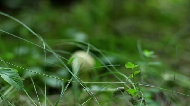 Little White Mushroom video