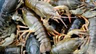 Live crayfish video