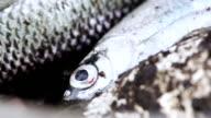 Live fish caught video