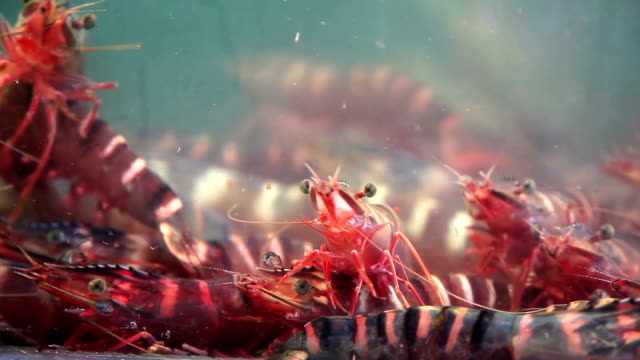 Live tiger prawn for cooking in market video