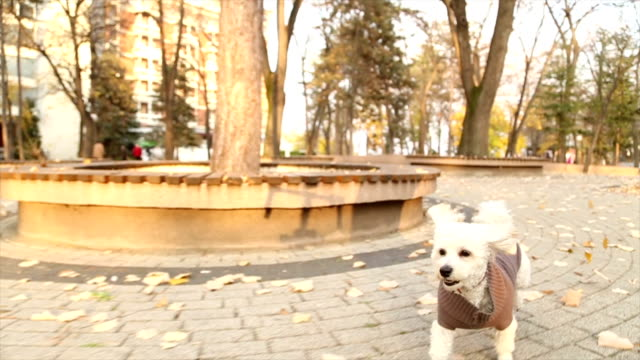 Lively toy poodle running in autumn park video