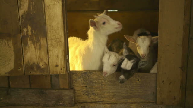 Livestock, group of young goats in stables at farm video