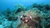 Living soft coral standing on ocean floor, Indonesia video