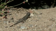 Lizard Crawling video