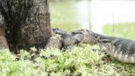 Lizard (Water monitor) is large lizard eating fish video