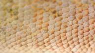 lizard skin video