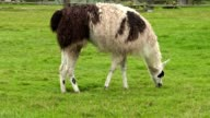 Llama eating grass video