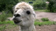 Llama loves and leaves... video