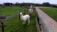 Llama running in paddock video