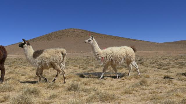 Llamas Walking video