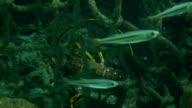 Lobster Between Algae video