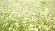 MS lock down white mustard flower field in nature video