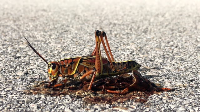 Locust insect eating video