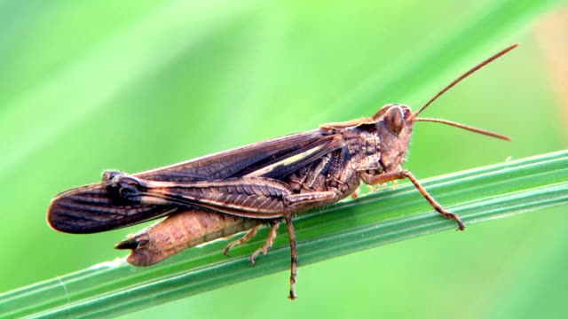 HD: Locust on a blade of grass. Close-up (video) video