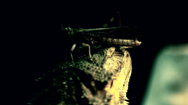 Locust on head of lizard video