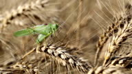 Locust on ripe wheat. video