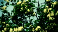 Locust tree flowers in gentle wind video