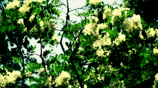 Locust tree flowers in gentle wind,slow motion video