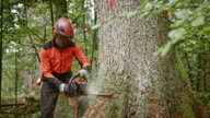 Logger cutting into a tree with chainsaw video