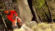 HD: Logger Felling a Tree video